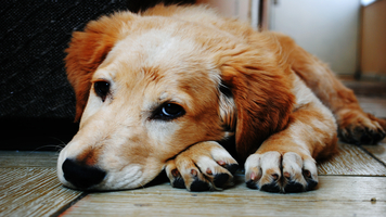 What You Should Know about Canine Influenza